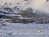 Polar Bear Walking on the Ice, Billefjord, Svalbard, Spitzbergen, Arctic, Norway, Scandinavia Photographic Print by Milse Thorsten