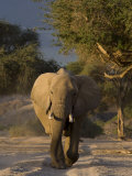 Desert-Dwelling Elephant, Namibia, Africa Photographic Print by Milse Thorsten