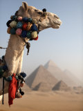 Camel Stands in Front of the Pyramids of Giza, Cairo, Egypt, North Africa, Africa Photographic Print by Mcconnell Andrew