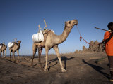 Local Nomads Drive Camels across the Desolate Landscape of Lac Abbe, Djibouti, Africa Photographic Print by Mcconnell Andrew