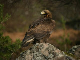 Golden Eagle, Highlands, Scotland, United Kingdom, Europe Photographic Print by Rainford Roy