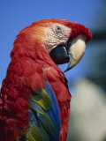 Scarlet Macaw, Seaworld, San Diego, California, United States of America, North America Photographic Print by Tomlinson Ruth