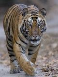 Indian Tiger, Bandhavgarh Tiger Reserve, Madhya Pradesh State, India Photographic Print by Milse Thorsten