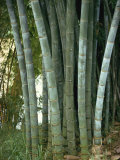Bamboo Stems in the Peradeniya Botanical Gardens in Kandy, Sri Lanka Photographic Print by Sassoon Sybil