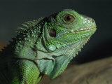 Serpentarium Green or Common Iguana, Skye, Scotland, United Kingdom, Europe Photographic Print by Murray Louise