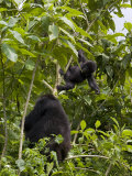 Mountain Gorilla with Her Young Baby, Rwanda, Africa Photographic Print by Milse Thorsten