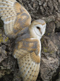 Barn Owl, Captive, Cumbria, England, United Kingdom, Europe Photographic Print by Toon Ann & Steve