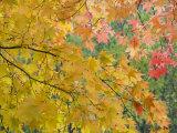 Maple Tree, Daisetsuzan National Park, Hokkaido, Japan Photographic Print by Schlenker Jochen