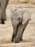 African Elephant, Calf, Addo Elephant National Park, South Africa, Africa Photographic Print by Toon Ann & Steve