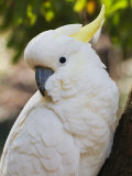 Sulphur-Crested Cockatoo, Dandenong Ranges, Victoria, Australia, Pacific Photographic Print by Schlenker Jochen