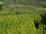 Sheep Grazing Among Wild Flowers Near Faro Airport, Algarve, Portugal, Europe Photographic Print by Westwater Nedra