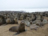 South African Fur Seal Colony, Namibia, Africa Photographic Print by Milse Thorsten