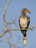 Yellowbilled Hornbill, Kruger National Park, South Africa, Africa Photographic Print by Toon Ann & Steve