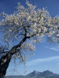 Almond Tree in Spring Blossom, Zahara De La Sierra, Andalucia, Spain, Europe Photographic Print by Tomlinson Ruth