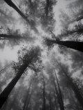 Mountain Ash Trees, Tallest Flowering Plants in the World, Dandenong Ranges, Victoria, Australia Photographic Print by Schlenker Jochen