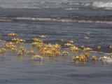Ghost Crab, Atlantic Ocean, Namibia, Africa Photographic Print by Milse Thorsten