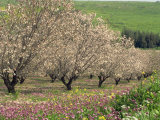 Winter Flowers and Almond Trees in Blossom in Lower Galilee, Israel, Middle East Photographic Print by Simanor Eitan