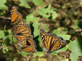 Monarch Butterflies in Mexico, North America Photographic Print by Taylor Liba