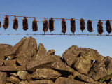 Moles Strung Up on Wire Fence, England, United Kingdom, Europe Photographic Print by Woolfitt Adam