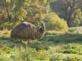 Emu, Flinders Ranges National Park, South Australia, Australia, Pacific Photographic Print by Schlenker Jochen