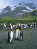 Small Group of Emperor Penguins, South Georgia, South Atlantic, Polar Regions Photographic Print by Renner Geoff
