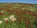 Wild Flowers Including Poppies in a Field in the Jordan Valley, Israel, Middle East Photographic Print by Simanor Eitan