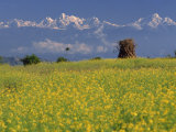 Landscape of Yellow Flowers of Mustard Crop the Himalayas in the Background, Kathmandu, Nepal Photographic Print by Wright Alison