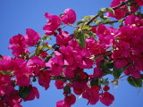 Close-Up of Pink Bougainvillea Flowers Photographic Print by Tomlinson Ruth