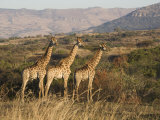 Giraffes, Ithala Game Reserve, Kwazulu Natal, South Africa Photographic Print by Toon Ann & Steve