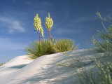 Yucca Bloom in Gypsum Dunes, White Sands National Monument, New Mexico, USA Photographic Print by Westwater Nedra