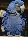 Macaw of Amazonia, Brazil, Photographic Print