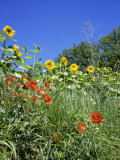 Roadside Flowers, Near Lerne, Val De Loire, Centre, France Photographic Print by Renner Geoff