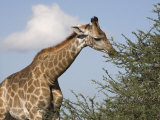 Giraffe, Kgalagadi Transfrontier Park, Northern Cape, South Africa, Africa Photographic Print by Toon Ann & Steve