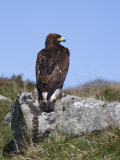 Golden Eagle, on Moorland, Captive, United Kingdom, Europe Photographic Print by Toon Ann & Steve