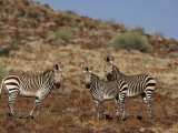 Hartmann's Mountain Zebras, Damaraland, Namibia, Africa Photographic Print by Milse Thorsten