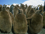 King Penguin Chicks, South Georgia, Polar Regions Photographic Print by Renner Geoff