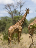 Reticulated Giraffe, Meru National Park, Kenya, East Africa, Africa Photographic Print by Pitamitz Sergio