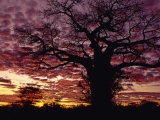 Baobab Tree Silhouetted by Spectacular Sunrise, Kenya, East Africa, Africa Photographic Print by Stanley Storm