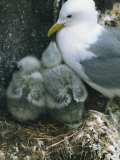 Kittiwake with Young on Nest, Farne Islands, Northumberland, England, United Kingdom, Europe Photographic Print by Rainford Roy