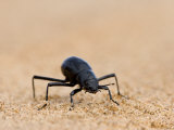 Tenebrionid Beetle, Namib Desert, Namibia, Africa Photographic Print by Milse Thorsten
