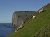 Sheep Grazing on a Steep Slope Above Cliffs of Rugged Coastline, Faroe Islands, Denmark, Europe Photographic Print by Woolfitt Adam