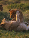 Lion Cubs Playing, Masai Mara, Kenya, East Africa, Africa Photographic Print by Murray Louise