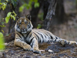 Indian Tiger, Bandhavgarh National Park, Madhya Pradesh State, India Photographic Print by Milse Thorsten