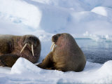 Walrus on Pack Ice, Spitzbergen, Svalbard, Norway, Scandinavia, Europe Photographic Print by Milse Thorsten