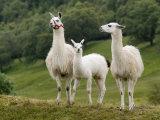 Llama Family Photographic Print by Richardson Rolf