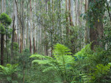 Rainforest, Yarra Ranges National Park, Victoria, Australia, Pacific Photographic Print by Schlenker Jochen