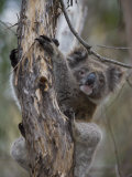 Koala, Kangaroo Island, South Australia, Australia, Pacific Photographic Print by Milse Thorsten
