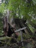Sugi Cedar Tree, Yaku-Shima, Kyushu, Japan Photographic Print by Schlenker Jochen