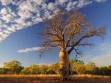 Boab Tree, Kimberley, Western Australia, Australia, Pacific Photographic Print by Schlenker Jochen
