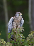 Kestrel, Captive, United Kingdom, Europe Photographic Print by Toon Ann & Steve